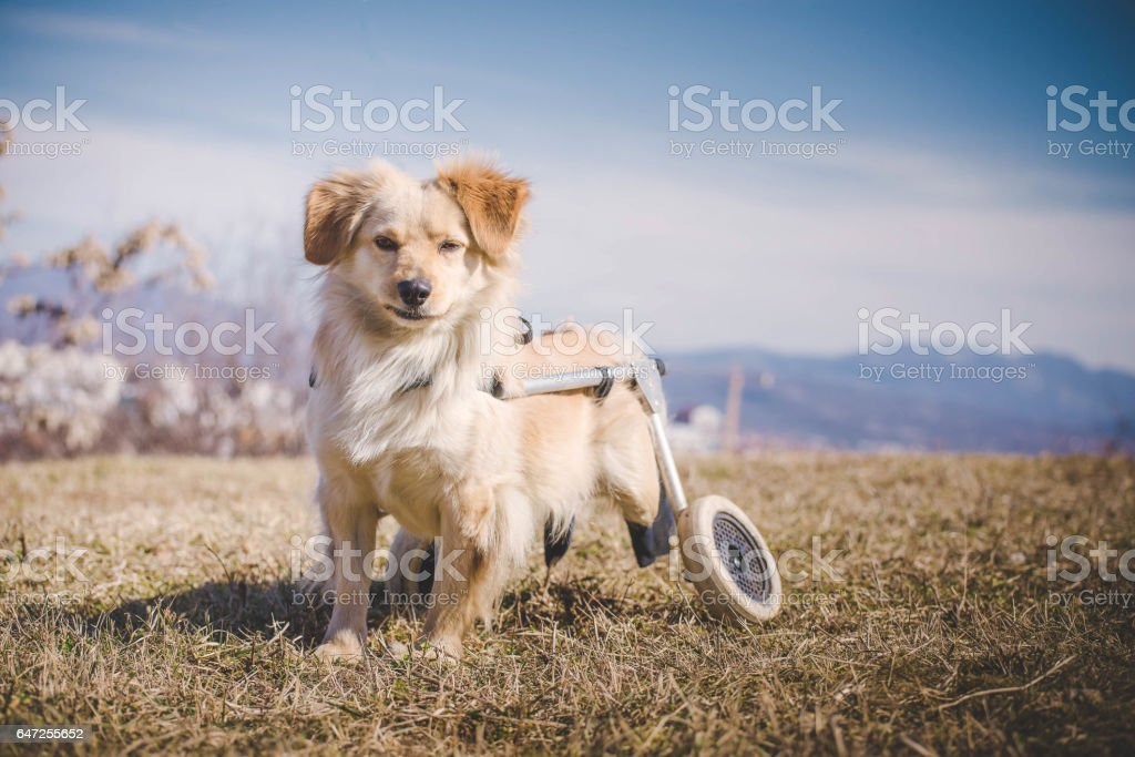 Handicapped dog stock photo