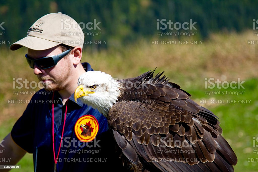 Handler with a trained Bald Eagle on Grouse Mountain stock photo