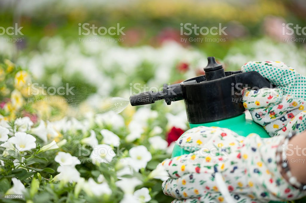 handn of gardener with sprayer and seedling in greenhouse stock photo