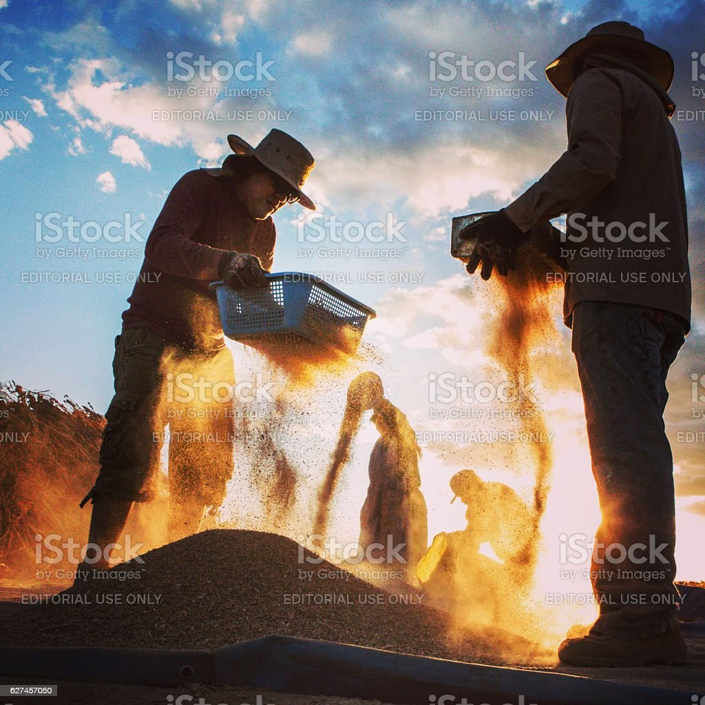 Handpicked quinoa harvest in the high plains of Bolivia stock photo