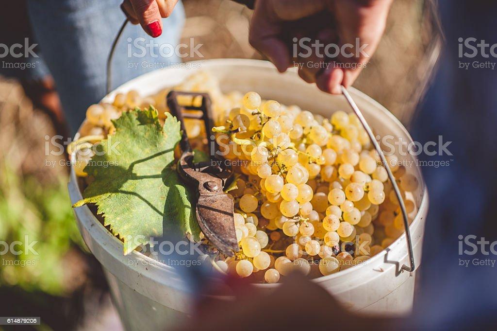 Handpicked Ripe White Grapes stock photo