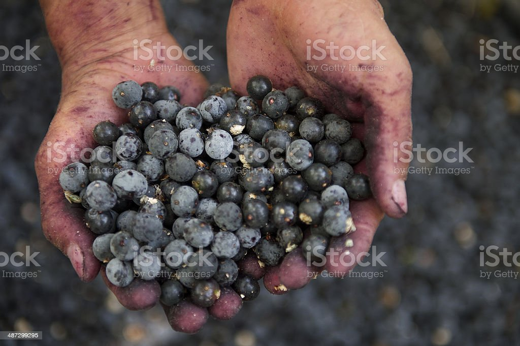 Hands and Acai berries at Brazil Palm Plantation stock photo