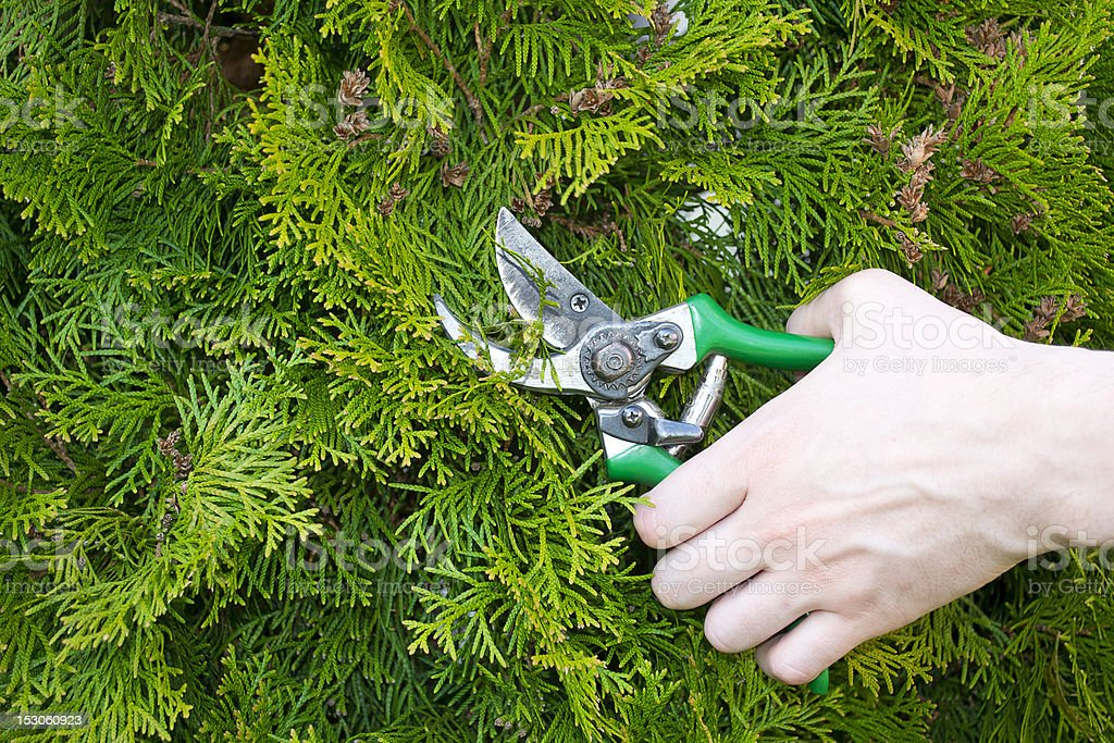 Hands are cut bush clippers royalty-free stock photo