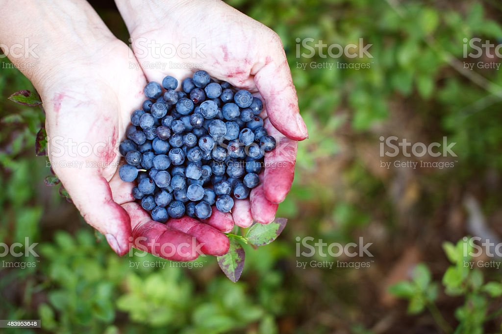 Hands full of bilberries stock photo