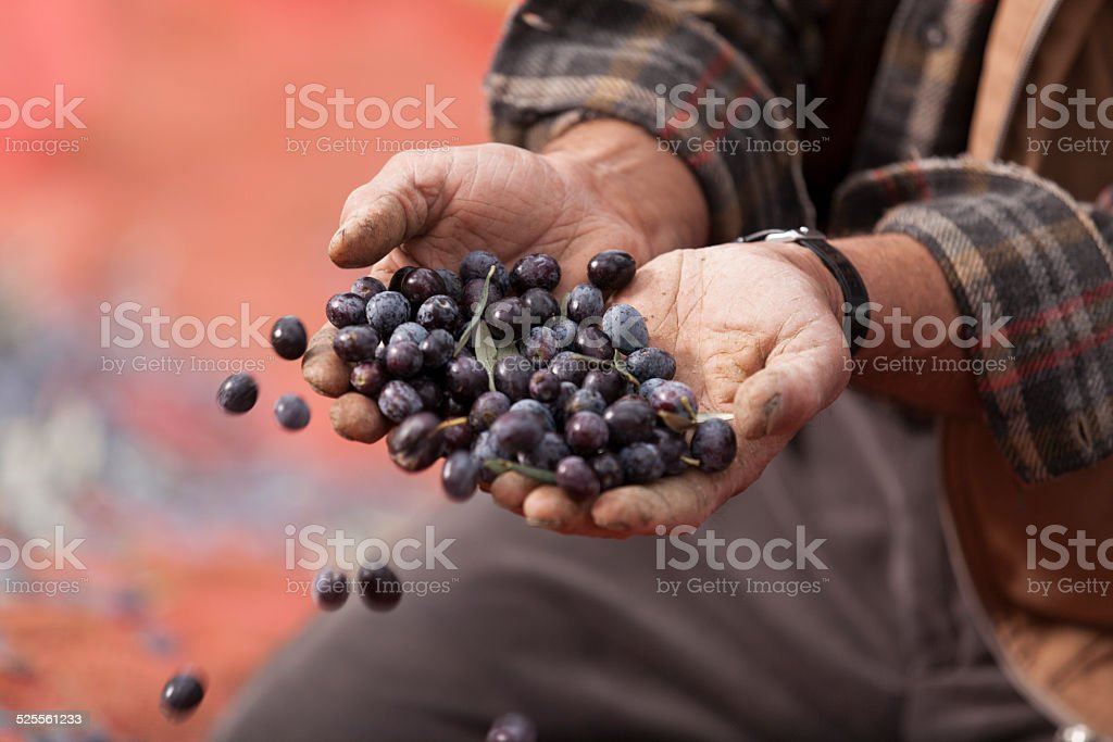 Hands Full of Olives stock photo