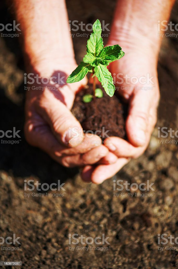Hands hold new plant over dirt royalty-free stock photo