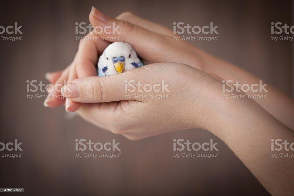 Hands holding a blue bird stock photo