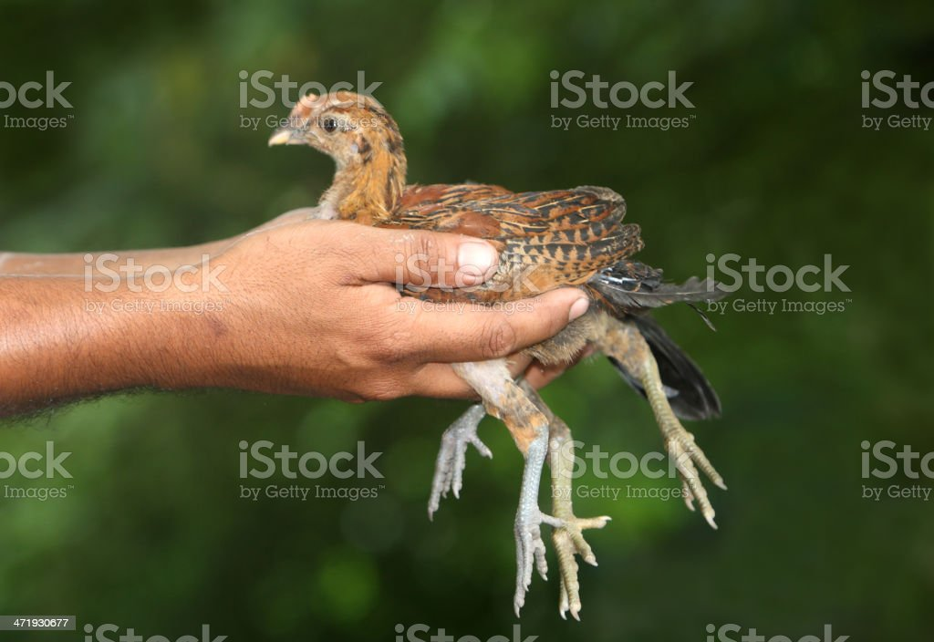 Hands holding a little chickens stock photo