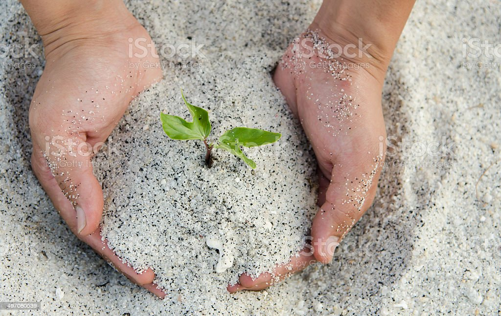 hands holding a new maple tree sprout with green leaves stock photo