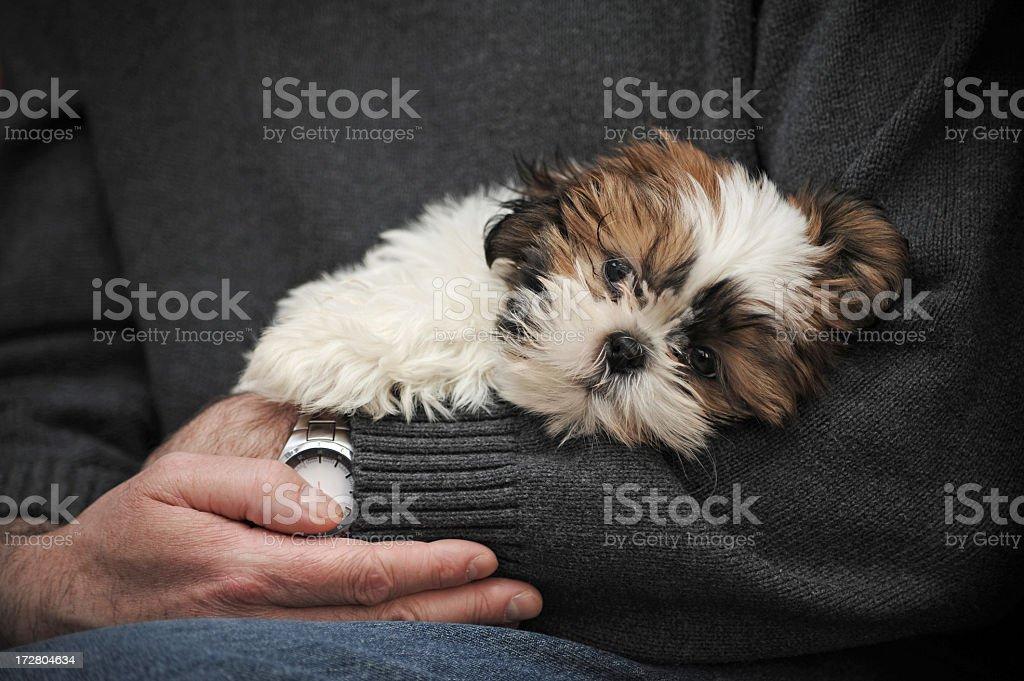 Hands Holding a Shitzu stock photo
