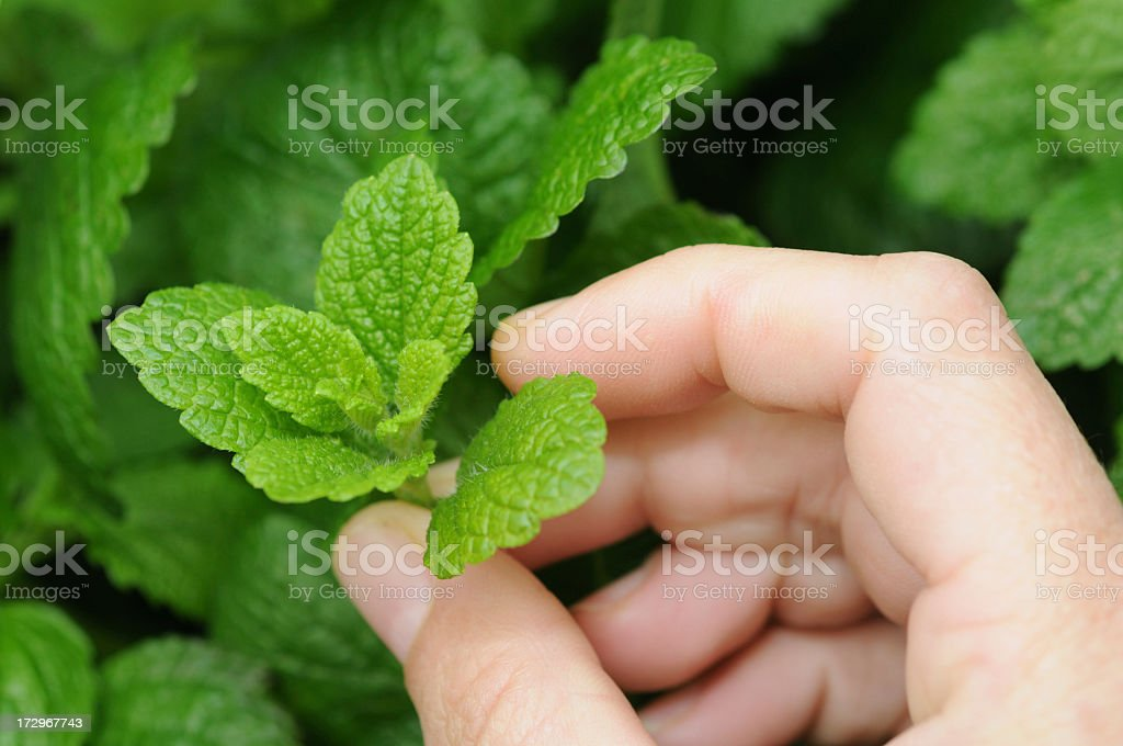 Hands holding a small sprig of fresh mint from a plant royalty-free stock photo