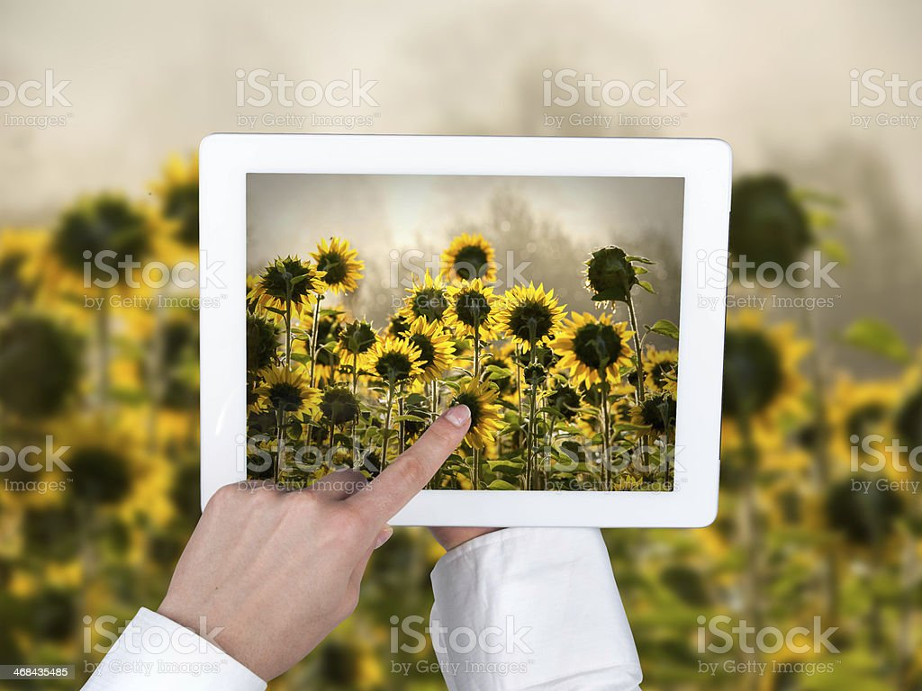 Hands holding a tablet in the background field of sunflowers stock photo