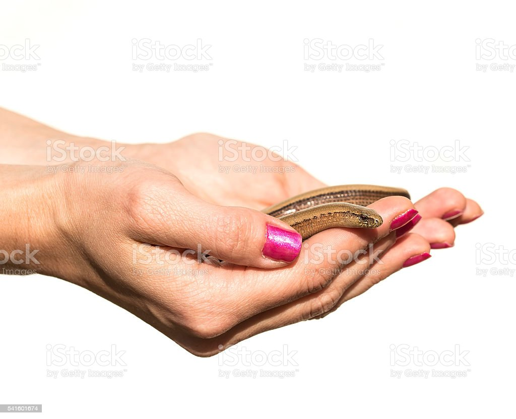 Hands holding anguis fragilis stock photo
