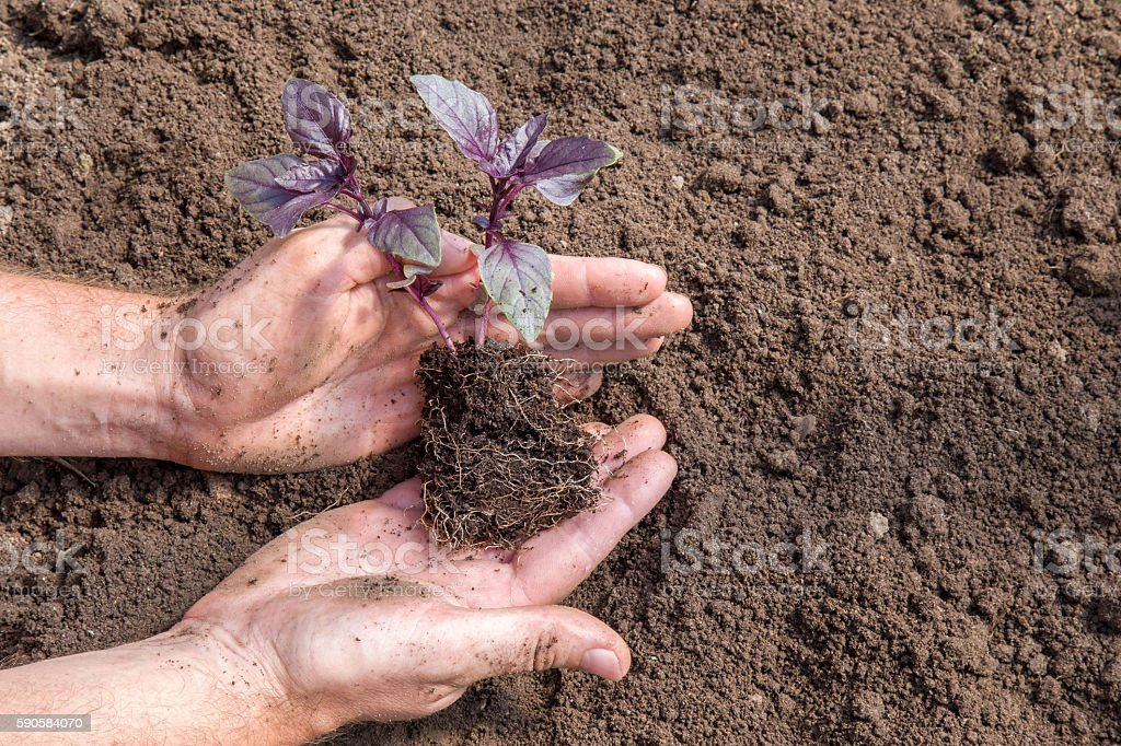 Hands holding beautiful purple basil plant with ground and roots. stock photo