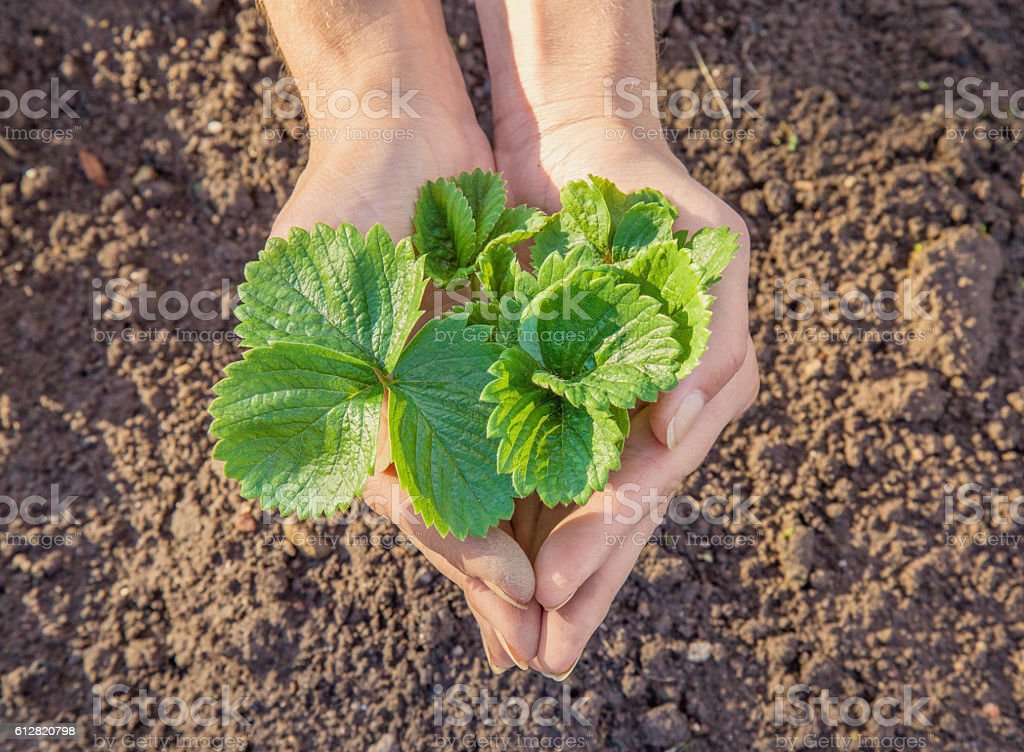 Hands holding beautiful strawberry plant on the ground background. stock photo