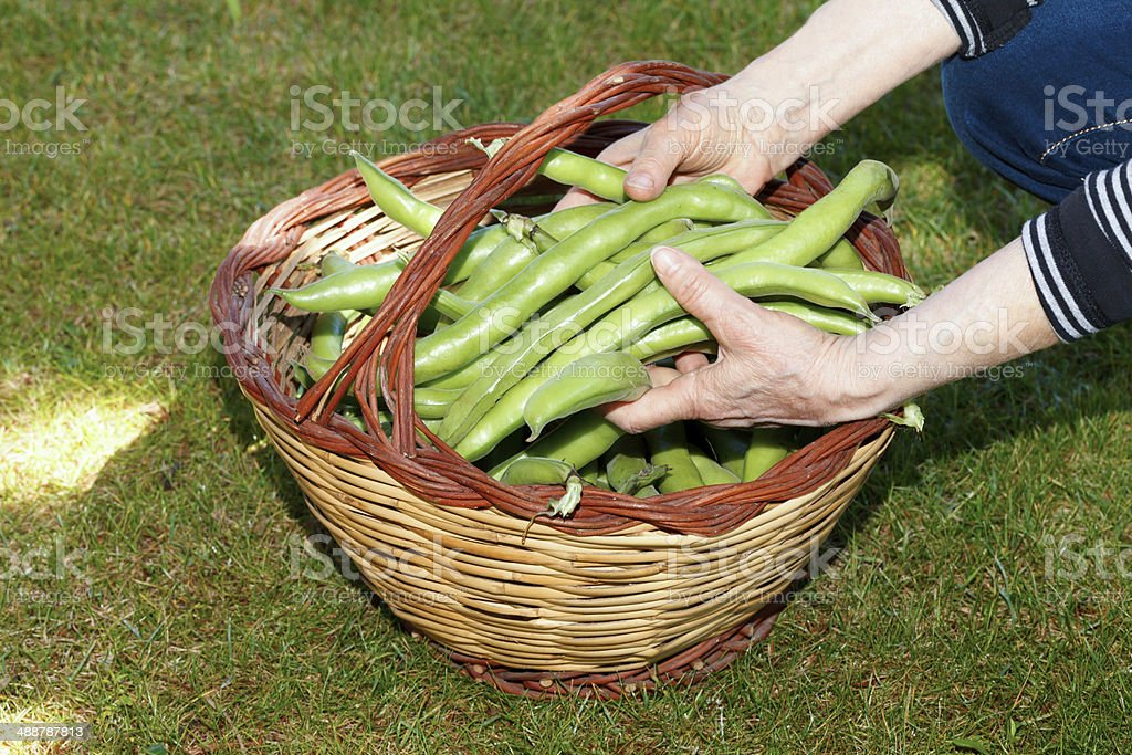 Hands Holding Broad Beans royalty-free stock photo