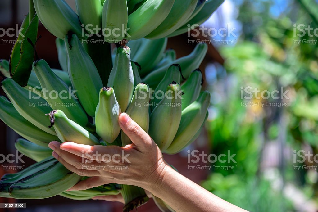 Hands holding bunch of banana stock photo