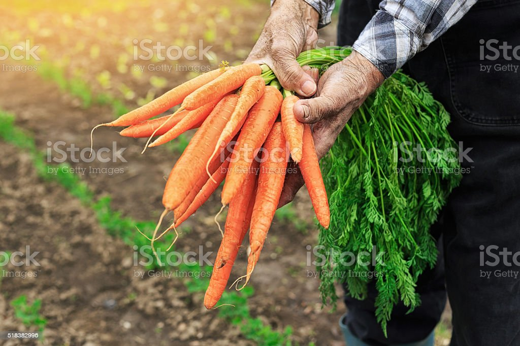 Hands holding bunch of carrots stock photo