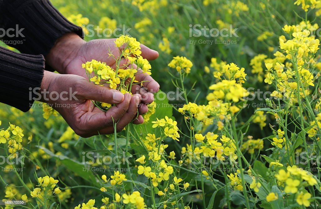 Hands holding bunch of mustard flowers stock photo