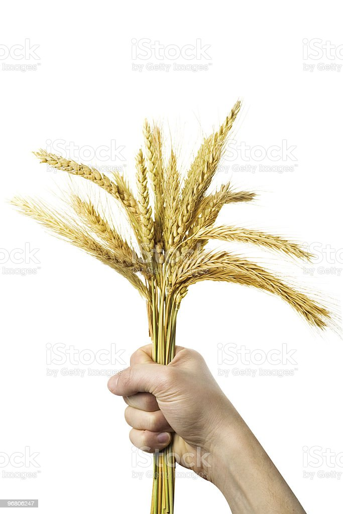 Hands holding bundle of the golden wheat ears royalty-free stock photo