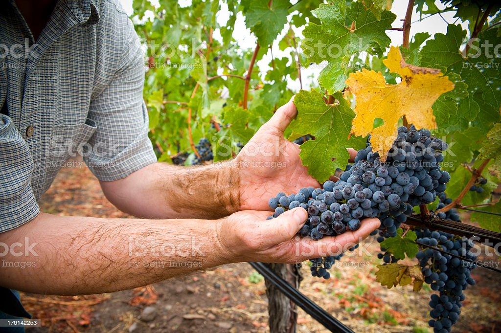 Hands holding cabernet sauvignon grapes in Napa Sonoma California royalty-free stock photo