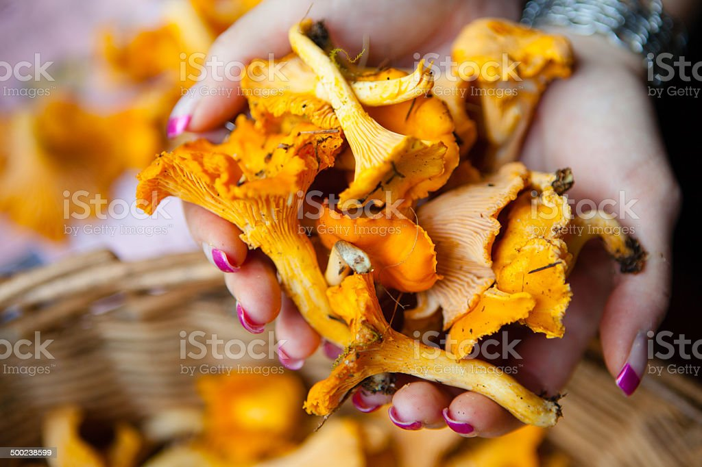 Hands holding chanterelles stock photo