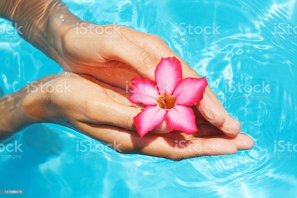 Hands holding frangipani flower royalty-free stock photo