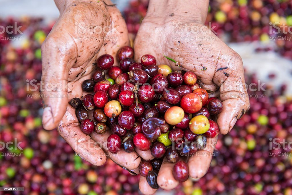 Hands holding fresh coffee crop stock photo