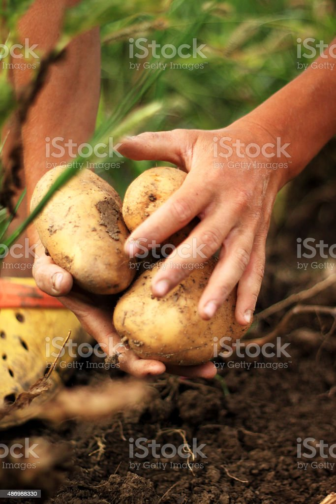 hands holding fresh picked up potatoes stock photo