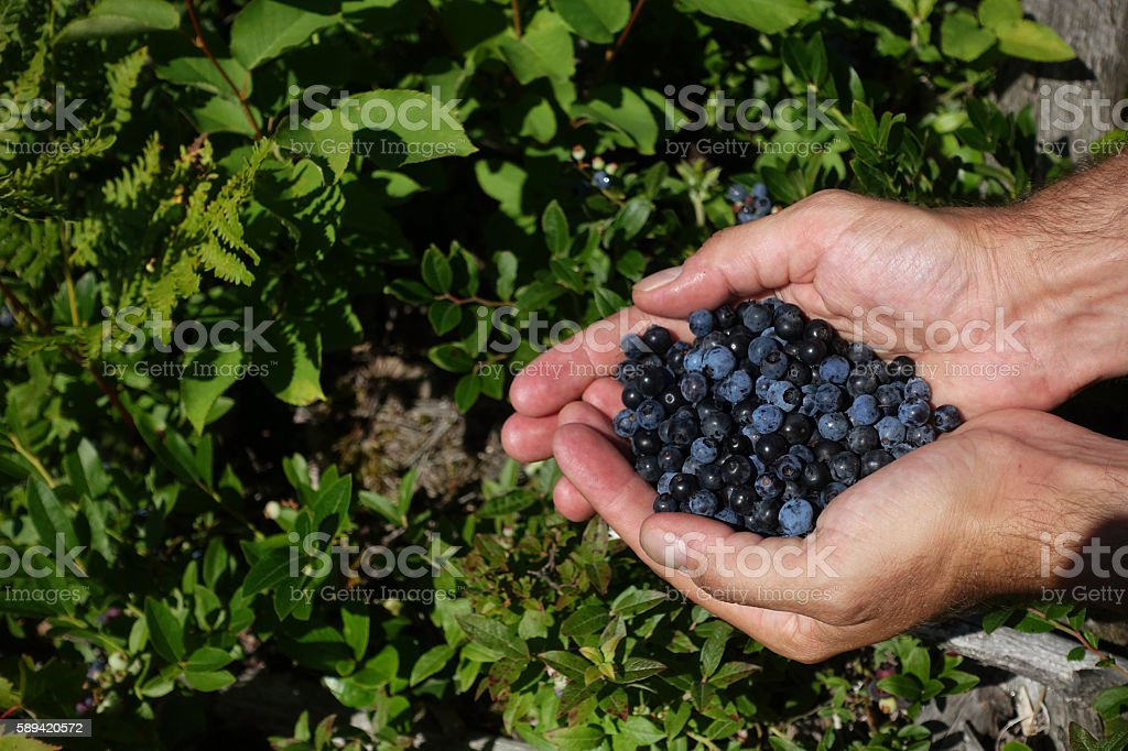 Hands Holding Fresh Picked Wild Blueberries royalty-free stock photo
