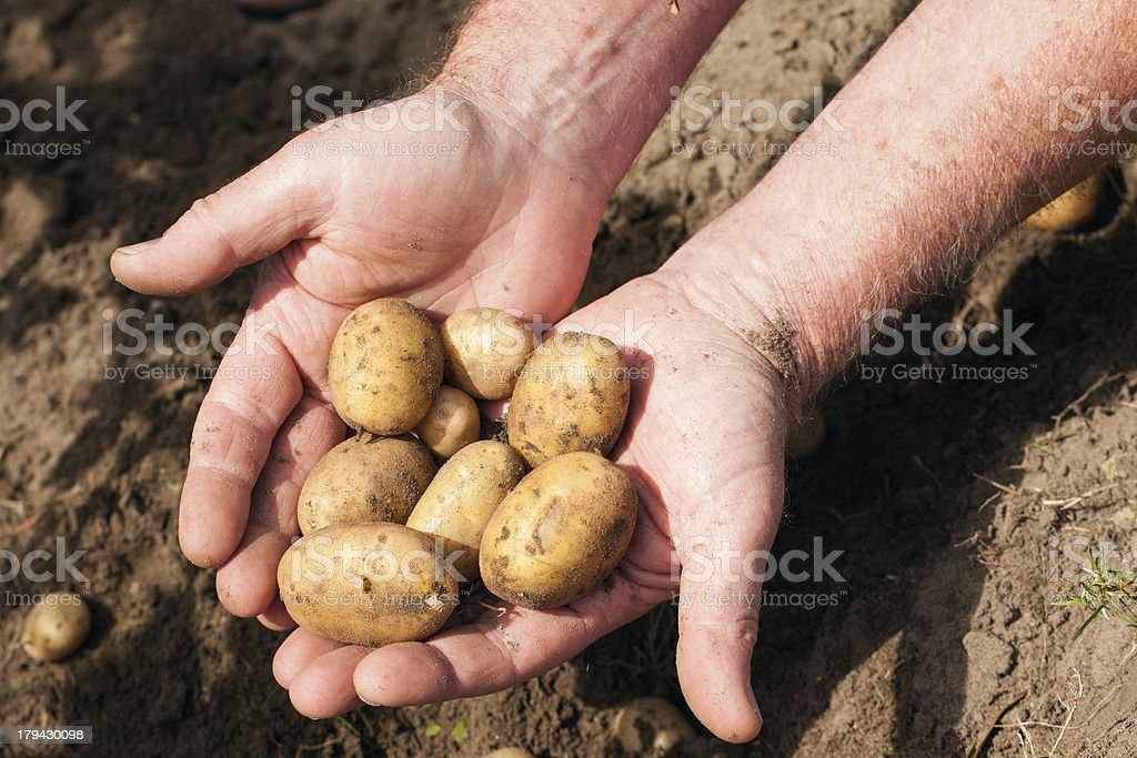 Hands holding fresh potatoes royalty-free stock photo