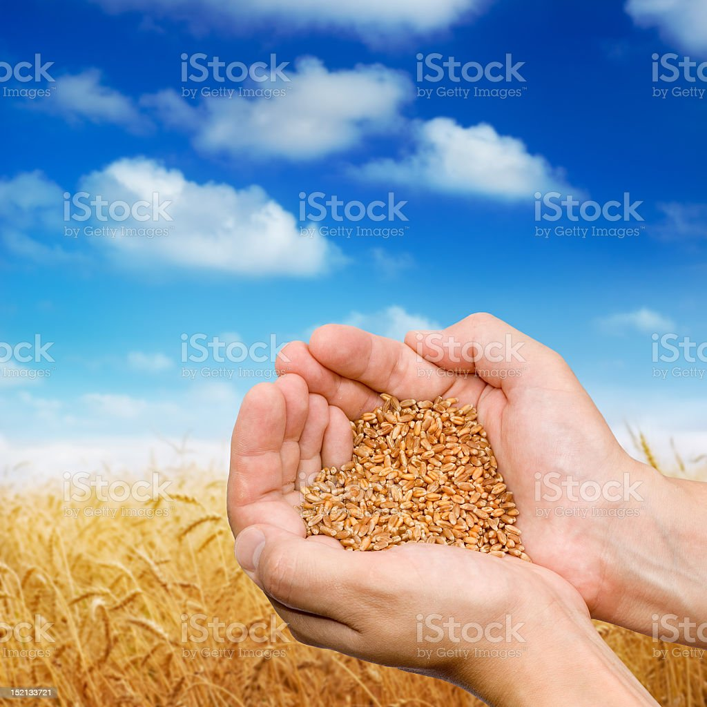 Hands holding grain in a wheatfield royalty-free stock photo