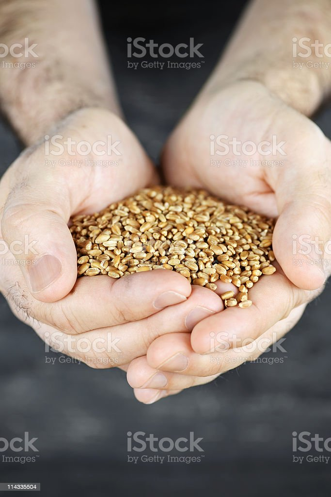 Hands holding grain royalty-free stock photo