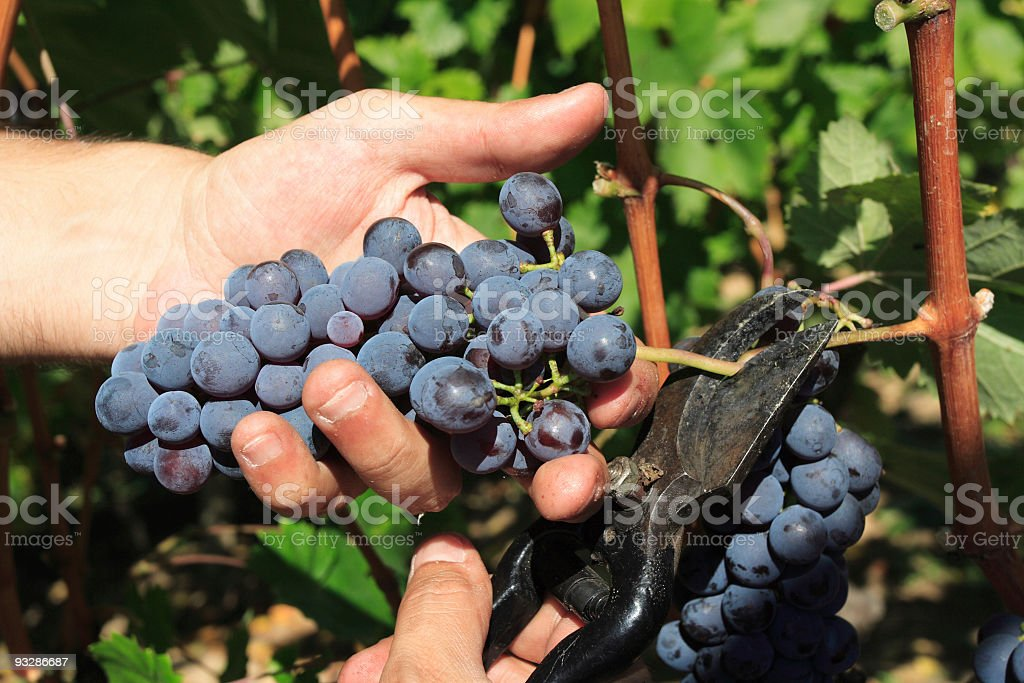 Hands holding grapes while cutting them off the branch  royalty-free stock photo