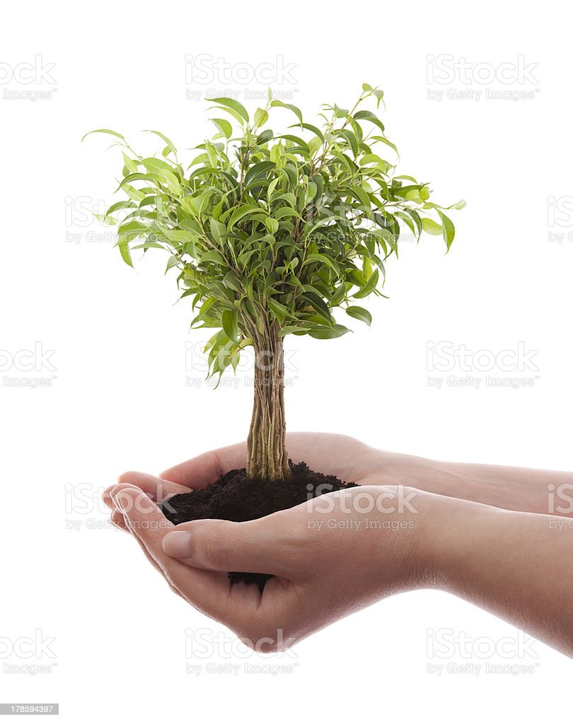 Hands holding green tree isolated on white royalty-free stock photo