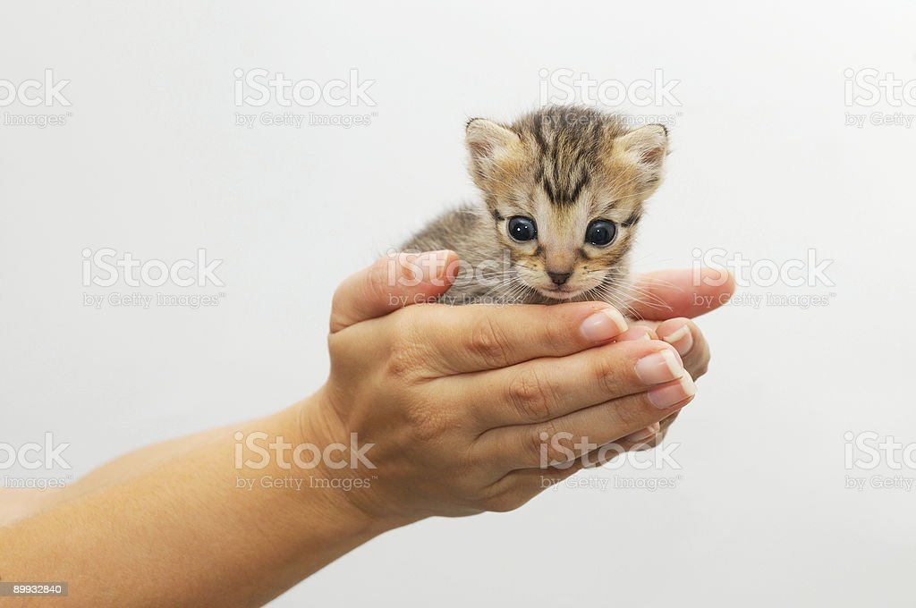 Hands holding kitten stock photo