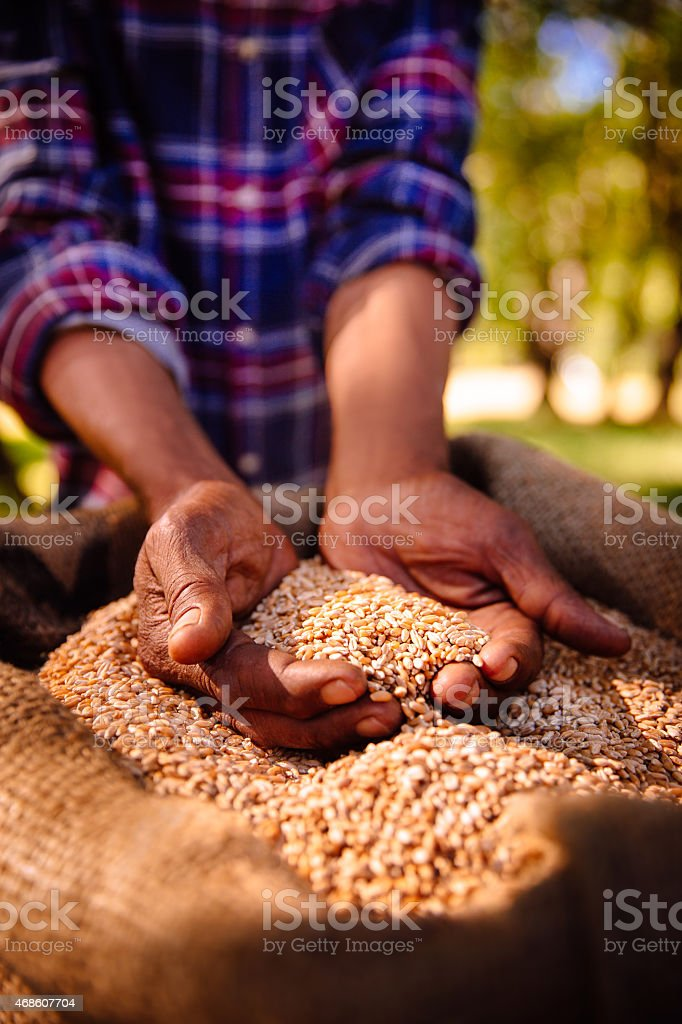 Hands holding nutritious fresh grains of wheat stock photo