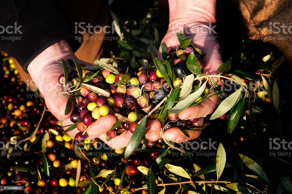 Hands holding olives stock photo