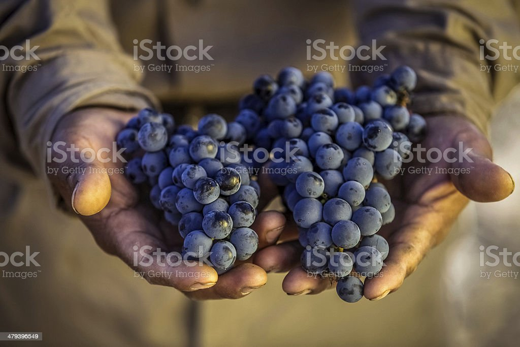 Hands holding out grape bunches stock photo