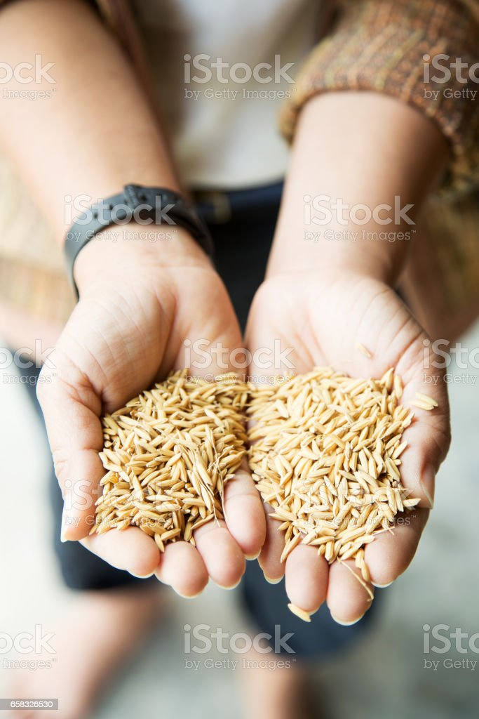 Hands holding paddy stock photo