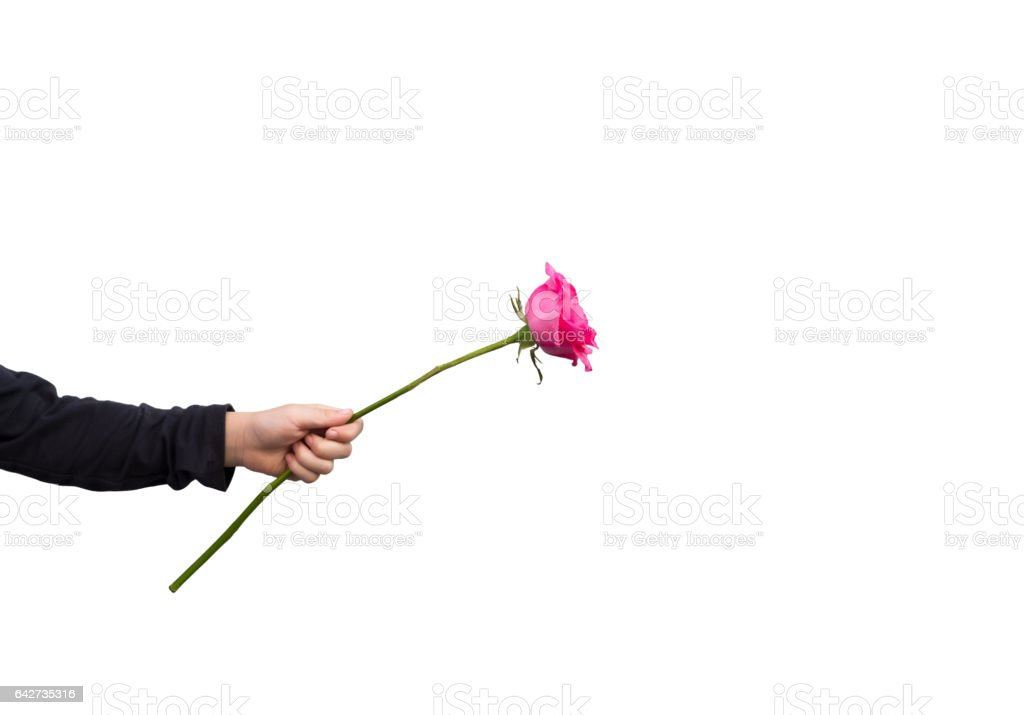 Hands holding pink rose isolated on white background. holidays card copy space valentine celebration concept stock photo