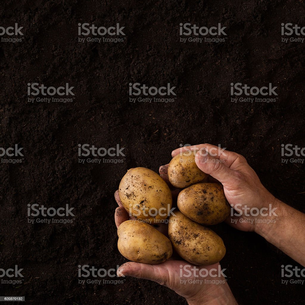 Hands holding potatoes above black ground stock photo