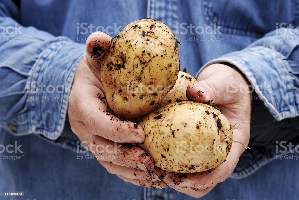 Hands holding potatoes stock photo