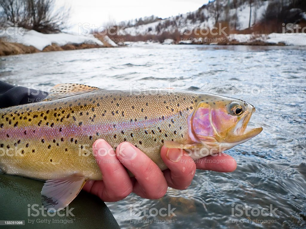 Hands Holding Rainbow Trout stock photo
