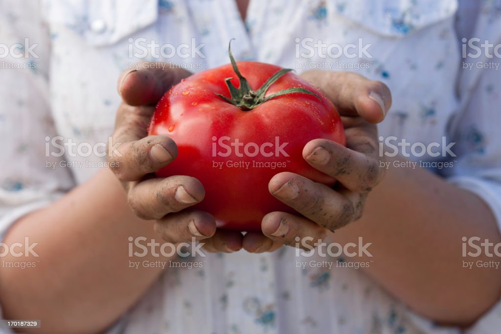 Hands Holding Ripe Tomato royalty-free stock photo