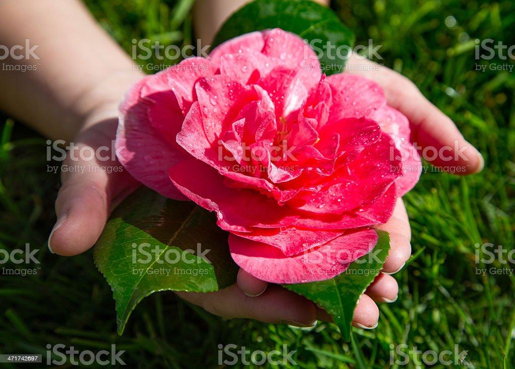 Hands Holding Rose Fallen After Heavy Rain (Rosa Grandiflora) royalty-free stock photo