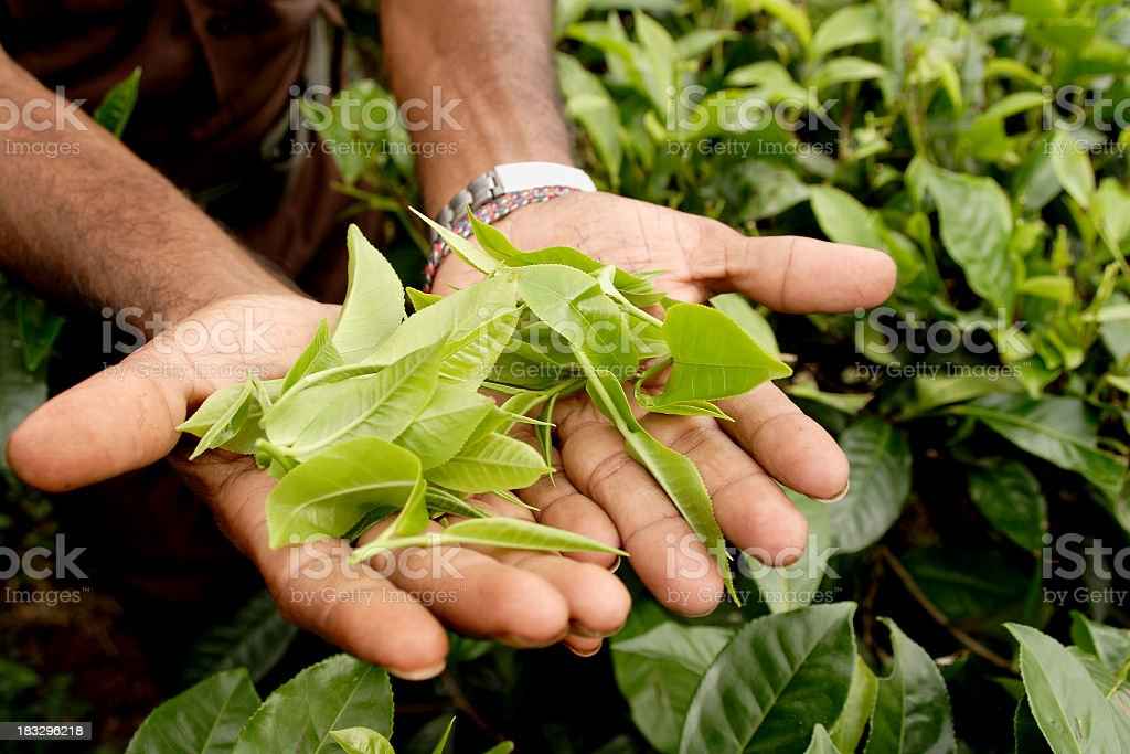 Hands holding up green tea leaves in Sri Lanka royalty-free stock photo