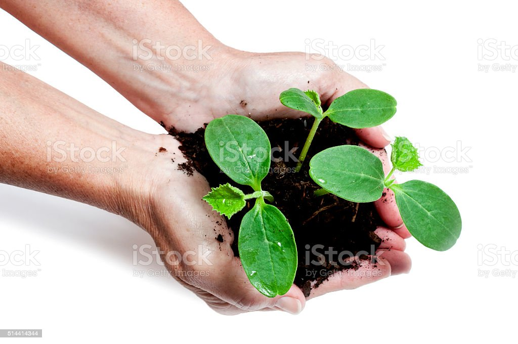 Hands Holding Young Vegetable Plants stock photo