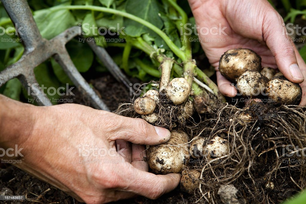 Hands lifting new potatoes with roots and dirt stock photo