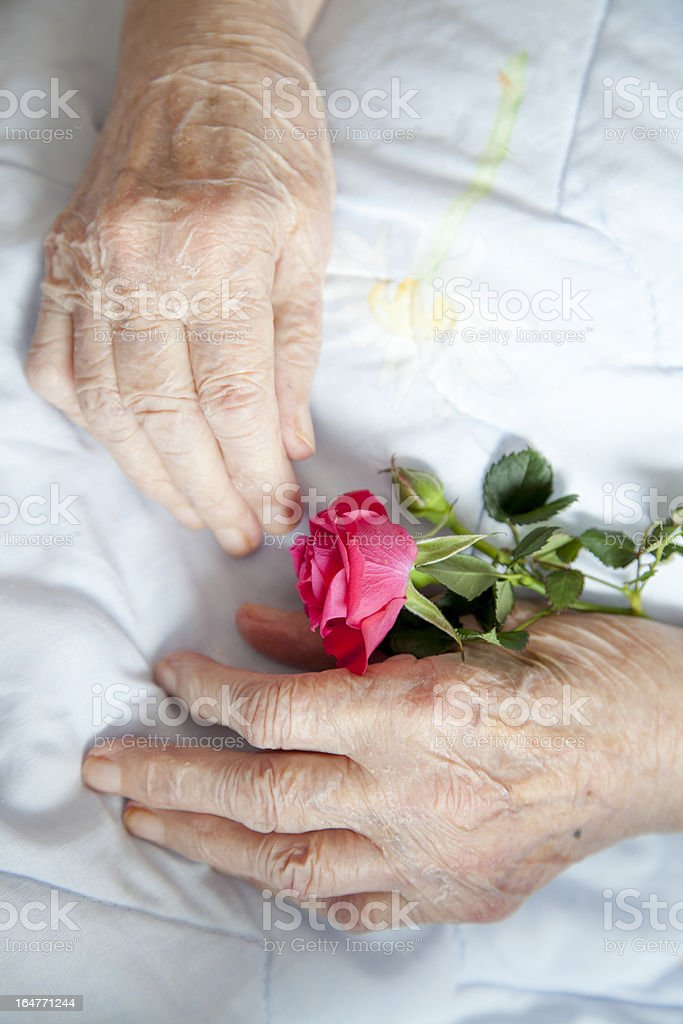 Hands of elderly lady with rose-photos series royalty-free stock photo